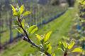De árvores de fruto, frutos de plantas, viveiro de plantas, mudas