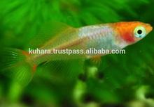 Traditonal farm koi Pet Fish for bleeding , small lot order available