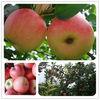 2013 china gala apple bulk fruits