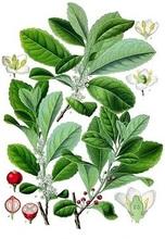 Pure Natural Yerba Mate Extract/yerba mate tea extract/yerba mate bulk powder