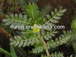 Free sample 80% furostanolic saponins/tribulus terrestris extract