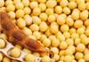 100% Pure Natural Soybean Oligosaccharides (SBOS)