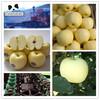 Chinese sweet cheap golden crisp apple fruit