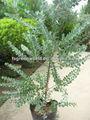 acacia podalyriifolia arbustos de árbol