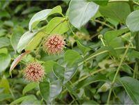 High quality Triterpene Glycosides 2.5%-20% of black cohosh extract powder