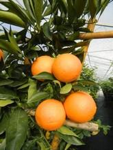 deliciosa cítricos planta de árbol 10