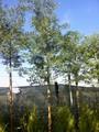 acacia dealbata planta árvore 2