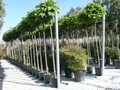 catalpa bignonioides nana planta árvore 1