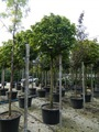 catalpa bignonioides nana planta árvore 2