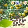Herb Medicine Fruit of immature citron