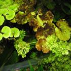 Brown Algae Extract/ Fucoidan 90%, 85%