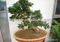 ornamental plant bonsai clay soil