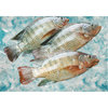 Frozen fresh live tilapia fish for sale