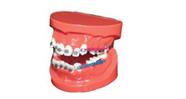 Human Dental Teaching Models Newly dental orthodontic treatment model for teeth study AC-P17
