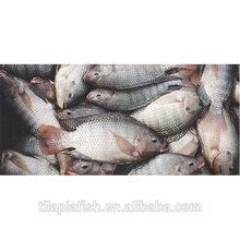 Frozen fish tilapia vietnam for sale
