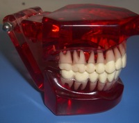 Dental typodont orthodontic education model ISO FDA CE