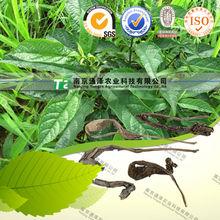 secas de la planta a base de hierbas de la medicina de la hoja isatis