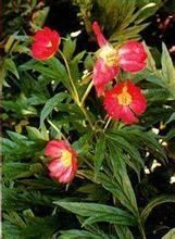 high quality radix paeonia rubra extract powder