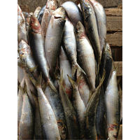 Bulk frozen wholesale sardines for exporting