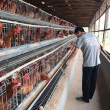 taiyu fábrica de gaiolas em bateria de galinhas poedeiras bateria galinha usado