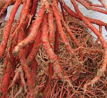 SCIPHAR supply Salvia miltiorrhiza P.E Salvianolic acid B