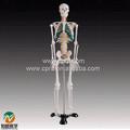 Bix-a1004 85cm humano nervos espinhais modelo de esqueleto
