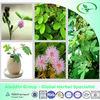 Mimosa Pudica Shy Sensitive Plant Pink Flower Garden Grass Bulk