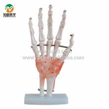 ライフサイズbix-a1021靭帯で手の解剖学的モデル