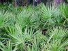Saw Palmetto P.E.(25%-90% Fatty acids)