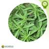 Stevia leaf Extract, Stevioside,pure green sugar stevia,natural sweetener