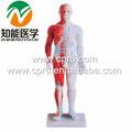 Bix-y1005 estándar anatómico modelo de la acupuntura ( 60 CM )