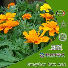 natures marigold