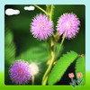 Mimosa Extract , sensitive plant extract , Herba Mimosae Pudicae Extract