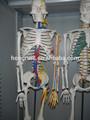 las ventas caliente esqueleto humano con cardíacos y vasculares esqueleto médica