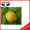 Artificial fruits lemons flavours