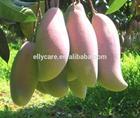 Africa Mango Seed Extract