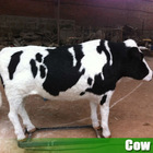 Hotsale animatronic life size cow model