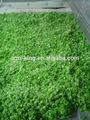 chino iqf verduras judías verdes