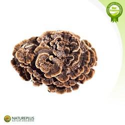 Best Price Coriolus versicolor Extract polysaccharides 10%-50% Triterpene 1%