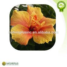 Flor de hibisco secas hibiscus hibiscus extrato