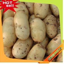 Top10 caliente de la venta de China patatas de venta de holanda