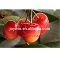 Enlatado fresco cereza en jarabe de toda la venta precio del fabricante