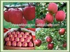 2014 Fresh Red Fuji Apple , Good Quality