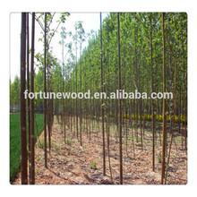 Barren resistant princess tree paulownia for lumber