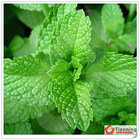 Mint, Spearmint, Mentha spicata flavor for juice, milk and protein drinks