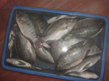 Tilapia whole round