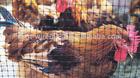 plastic square mesh for chicken cage
