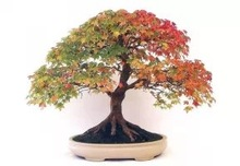 2014 high quality decorative indoor artificial maple tree bonsai,artificial red maple tree,artificial maple tree