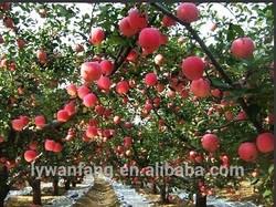 apple fruit fresh fruit importers