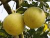 orange grapefruit lemon
